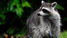 Cops Warn of 'Growling' Raccoons Baring Their Teeth