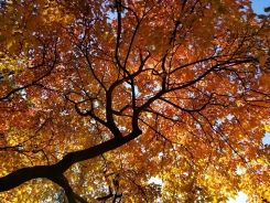 Gorgeous Fall Leaves Spotted In Chicago Area
