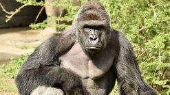 Vigil Held for Gorilla Killed at Cincinnati Zoo