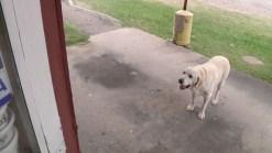 'He Loves BBQ': Dog Named Jake Is a Regular Customer at Ribs Drive-Thru