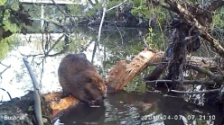 Raw Video: City Beavers Dwelling in San Jose