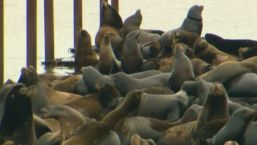 Sea Lion Invasion