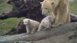 Polar Bear Cubs Go Outside For First Time