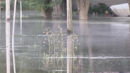 Beaver Swims in McHenry County Floodwaters