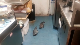 Peckish Penguins Pop By Sushi Shop