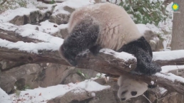 Watch: Bei Bei the Panda Has a Blast in the Snow