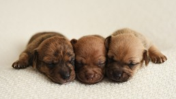Newborn Photoshoot Features Adorable Tiny Puppies