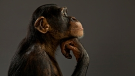 Chimp Rights to Be Weighed at NYC Court Hearing