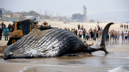Whale Carcass Washes Up on Calif. Beach
