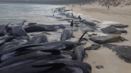 Nearly 150 Beached Whales Die in Australian Bay