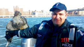 Cops Rescue Distressed Hawk From NY River
