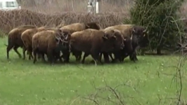 Bison Herd Shot After Stampeding Through Upstate NY Towns