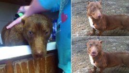 Adoption Post for Rare Pit Bull-Dachshund Mix Goes Viral