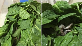PHOTO: 'Triple Washed' Spinach Had Dead Frog, Woman Claims