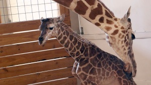 'Giraffe Mom' and Her Baby Meet April the Giraffe and Hers