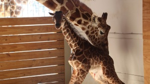 End of an Era: April the Giraffe Live Feed to Go Dark