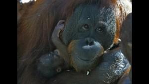 WATCH: Magic Trick Makes Orangutan Crack Up