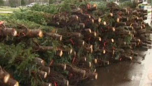 No Holiday Cheer For Tree Farmers
