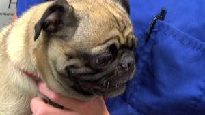 Homeward Bound: Long-Lost Pug Makes Incredible Journey to Get Home