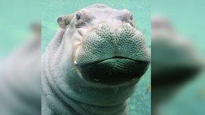 Texas Hippo Eyeing Cincinnati's Famed Fiona