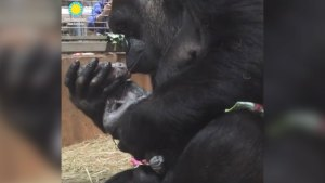 National Zoo Welcomes Birth of Critically Endangered Baby Gorilla