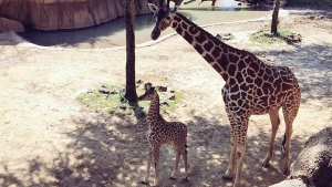 Baby Giraffe Makes Public Debut at Dallas Zoo