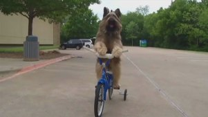 Incredible Bicycle-Riding Dog