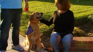 Golden Retriever Hurt in Acid Attack Becoming Therapy Dog