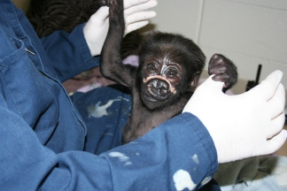 Zoo Vet Updates on Baby Gorilla Injury