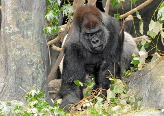 PHOTOS: Brookfield Zoo Welcomes JoJo to Breeding Program