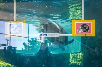 Florida's Manatees Predict Different Super Bowl 51 Winner