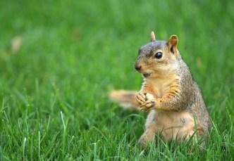 Mild Winters Making Chicago's Squirrels Fatter