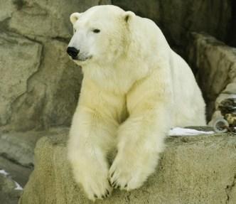 Pimp My Polar Bear