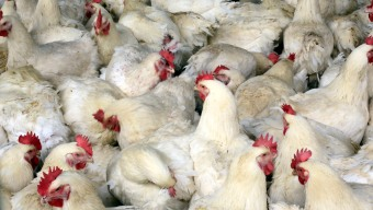 Bird Flu Redux: Scourge Wiping Out Millions of Chickens