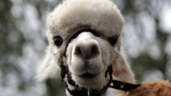 You Can't Expense That Llama: 2016's Wackiest Claims