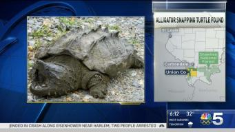 1st Alligator Snapping Turtle in Decades Spotted