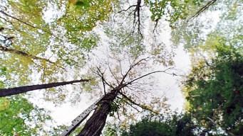 Gene Tweaking Could Revive Long-Gone Chestnut Tree