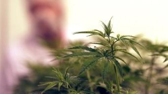 Legalizing Medical Marijuana May Cut Opioid Abuse: Study