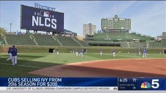 Cubs to Sell Wrigley Field Ivy From 2016 World Series