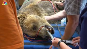 Grizzly Bear Gets Root Canal