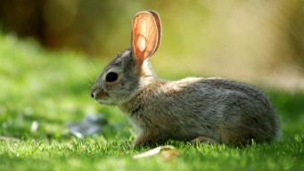 Dead Rabbit Tests Positive for Tularemia