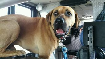 Chicago Firehouse Dog 'Bull' Found