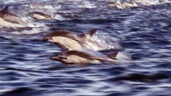 Caught On Cam: Dolphin Stampede