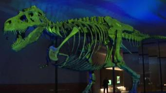 Sue the T. Rex Returns to Field Museum