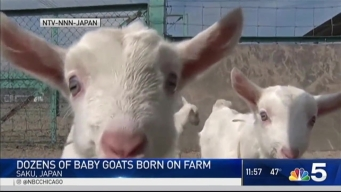 Dozens of Adorable Baby Goats Born on Farm