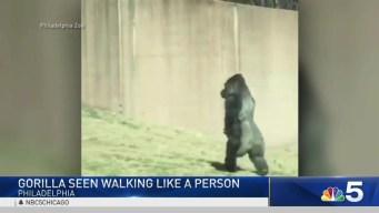 Rundown: Election Monitoring, CTA Crash, Gorilla's Walk