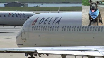 Delta Airlines Gets Backlash For Pit Bull Service Dog Ban