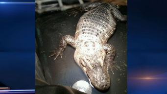 200-Pound Alligator Found in Suburban Chicago Home After 26 Years