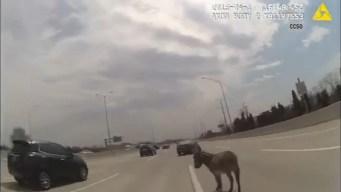 Wayward Donkey Rescued on I-90 by Flummoxed Sheriff's Deputy