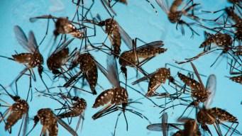 Experts Hope Mosquito-Borne Bacteria Can Beat Zika Virus
